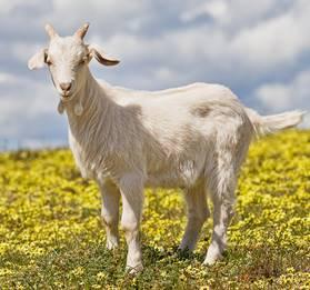 Goat- Organic Range