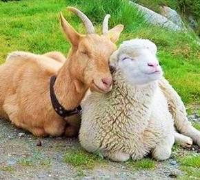 Goat & Sheep- Conventional Range